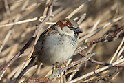 House Sparrow | Gråspurv