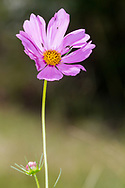 Garden Cosmos or Mexican Aster (Cosmos bipinnatus)<br /> United States: Alabama: Tuscaloosa Co.<br /> Tulip Tree Springs off Echola Rd.; Elrod<br /> 5-Sep-2016<br /> J.C. Abbott #2864