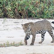 Jaguar Walking on White Sand