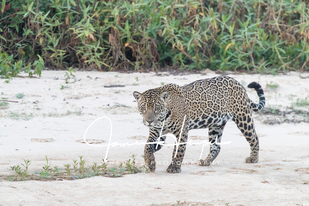 Jaguar Walking on White Sand