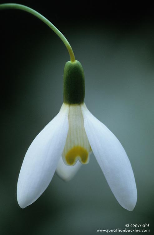 Galanthus 'Blonde Inge' - snowdrop