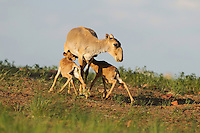 Mission: Saiga.Mother saiga (Saiga tatarica) and calves in the steppe near Cherniye Zemly (Black Earth) Nature Reserve, Kalmykia, Russia, May 2009.Saiga tatarica