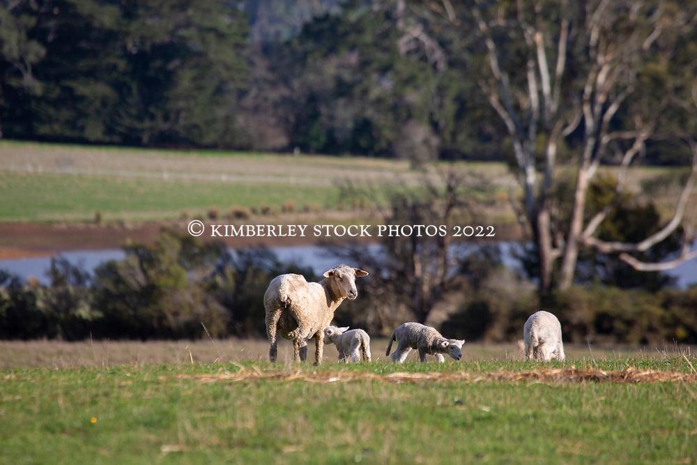 A ewe with triplets on a farm near Blackwood Creek in Tasmania's northern midlands.
