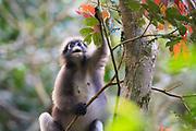 Dusky Langur (Trachypithecus obscurus) finding food in tree. Kaeng Krachan National Park. Thailand.