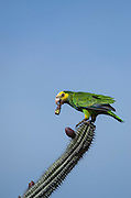 Yellow Shouldered Parrot (Amazona barbadensis) on Cactus.<br /> BONAIRE, Netherlands Antilles, Caribbean<br /> HABITAT & DISTRIBUTION: Only Amazon Parrot found in dry forests of Venezuela & Bonaire.<br /> IUCN STATUS: Vulnerable.  Endangered on Bonaire.