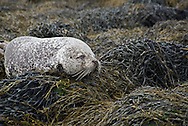 Female common seal or harbour seal, Phoca vitulina, (harbor seal in the US) dozing on egg wrack seaweed covered rocks, Isle of Skye, Western Isles, Scotland.