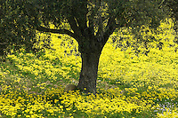 Olive Trees surrounded with yellow Bermuda Buttercups (Oxalis pes caprae), Kaplika, Northern Cyprus