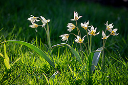 Tulipa turkestanica AGM growing in long grass
