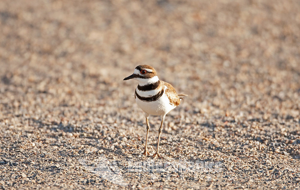 It is early April and this Killdeer inspects this gravel area for suitable spots to build its nest that will be no more than a depression in the ground.