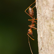 Oecophylla smaragdina (common names include weaver ant, green ant, green tree ant, and orange gaster) is a species of arboreal ant found in Asia and Australia. They make nests in trees made of leaves stitched together using the silk produced by their larvae.
