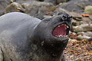 A sub-adult male southern elephant seal lumbers forward with mouth open bellowing