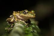 Spinomantis aglavei , a species of Malagasy Tree Frog.