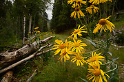 Wildflowers grow on Mount Graham, a Sky Isand, Safford, Arizona, USA.