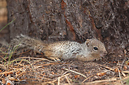Young rock squirrel rests at the base of a ponderosa pine tree, Kaibab National Forest, AZ, © 2006 David A. Ponton