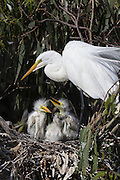 Great Egret <br /> Ardea alba<br /> Parent and two-week-old chicks in nest<br /> Sonoma County, California