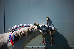 © Licensed to London News Pictures.15/08/15<br /> Rosedale, UK. <br /> <br /> A heavy horse with a decorated mane is tethered to a lorry during the Rosedale Country Show. This mainstay annual event remains as popular as ever attracting visitors and entrants from across the region.<br /> <br /> Photo credit : Ian Forsyth/LNP