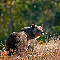 grizzly bear looking back shoulder