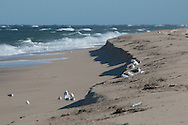Gulls above and below a shelf cut into the beach by rough surf>