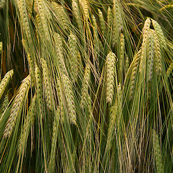 Dynamically textured grain field. Detail view.