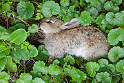 Dead rabbit lying in verge, UK