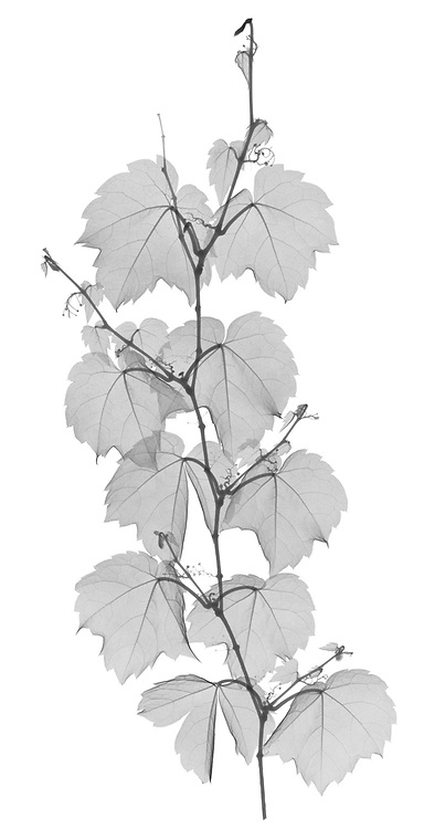 X-ray image of a Boston ivy strand (Parthenocissus tricuspidata, black on white) by Jim Wehtje, specialist in x-ray art and design images.