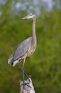 Great Blue Heron - Ardea herodias - Sub-adult