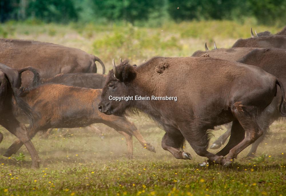 Herd of Bison running through an open field near Delta Junction, Alaska