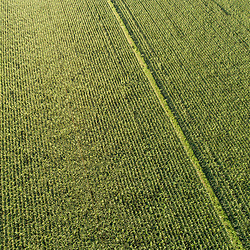 Drone view of a corn field in Middleborough, Massachusetts.