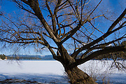 Idaho, Hayden. A Lakeshore tree reaches out over the frozen water of Hayden Lake on a sunny winter day. PLEASE CONTACT US FOR DIGITAL DOWNLOAD AND PRICING.