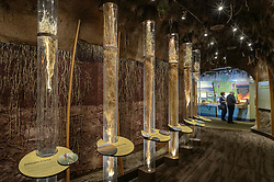 One of the exhibits at the recently opened $24.4 million Flint Hills Discovery Center, located in Manhattan, Kansas, is an 'underground forest' depicting plant and insect life under the tallgrass prairie. About two-thirds of the mass of prairie grass is below the surface, protected from fire and grazing animals. This photo shows the long life-size roots of prairie grasses. Through interactive exhibits, Flint Hills Discovery Center visitors can explore the science and cultural history of the last stand of tallgrass prairie in North America – one of the world's most endangered ecosystems. Other attractions of the Flint Hills Discovery Center include: a 15-minute 'immersive experience' film which has special effects such as fog, mist and wind which appear in the theater as the high definition film is shown on a large panoramic screen; explanations of importance of fire to the Flint Hills tallgrass prairie; and exhibits about the people and cultural history of the Flint Hills. The Flint Hills Discovery Center was designed by the museum architectural firm Vern Johnson Inc. with interpretive design and planning by Hilferty and Associates. The 34,900 square foot science and history learning center features permanent interactive exhibits, temporary exhibits, and areas for community programs and outreach activities. The Flint Hills Discovery Center received a LEED green building certification for their environmental design and energy efficiency, including their lighting and geothermal heating/cooling system.