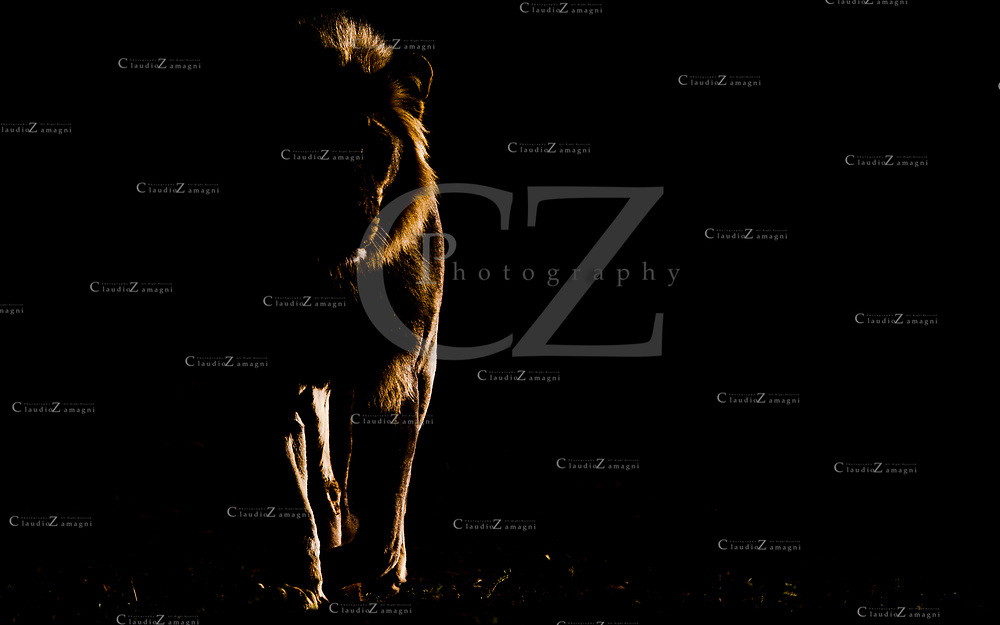 A silhouette of an adult male lion walking on my direction with particular light in Kgalagadi Transfrontier Park South Africa.<br />