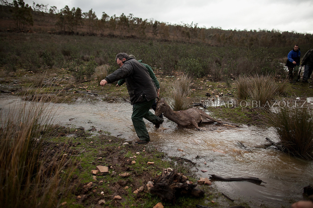 Hunters pull a dead deer across a small stream of water after hunting near Carbajo on January 19 2013, in Caceres Province, Extremadura, Spain. .Caceres has a well preserved natural environment. Plenty of its surface is dedicated to deers and wild boars hunting, making this, an important part of its economy. But most of the land belongs to large landowners. .In Carbajo, people gather three times a year to hunt deers and wild boars. In the past, they used to hunt for eating, but now days, they practice it as an sport and a social event. Then, they sell what the catch as wild game meat.