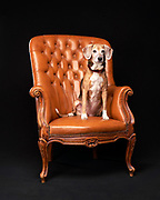 Beagle sitting in leather chair. That's Pepe from Cody's Creations