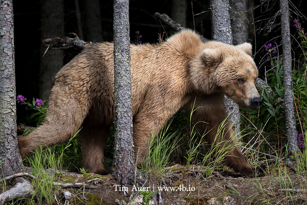 A female brown bear threads her way through the trees growing along the river bank in Katmai National Park.