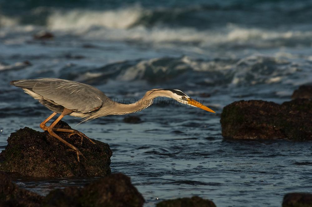 Great Blue Heron (Ardea herodias)<br /> Santiago Island, GALAPAGOS<br /> ECUADOR. South America<br /> RANGE; Alaska, USA to Islands of Venezuela &amp; Galapagos