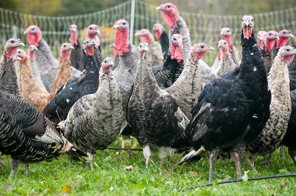 Group of turkeys