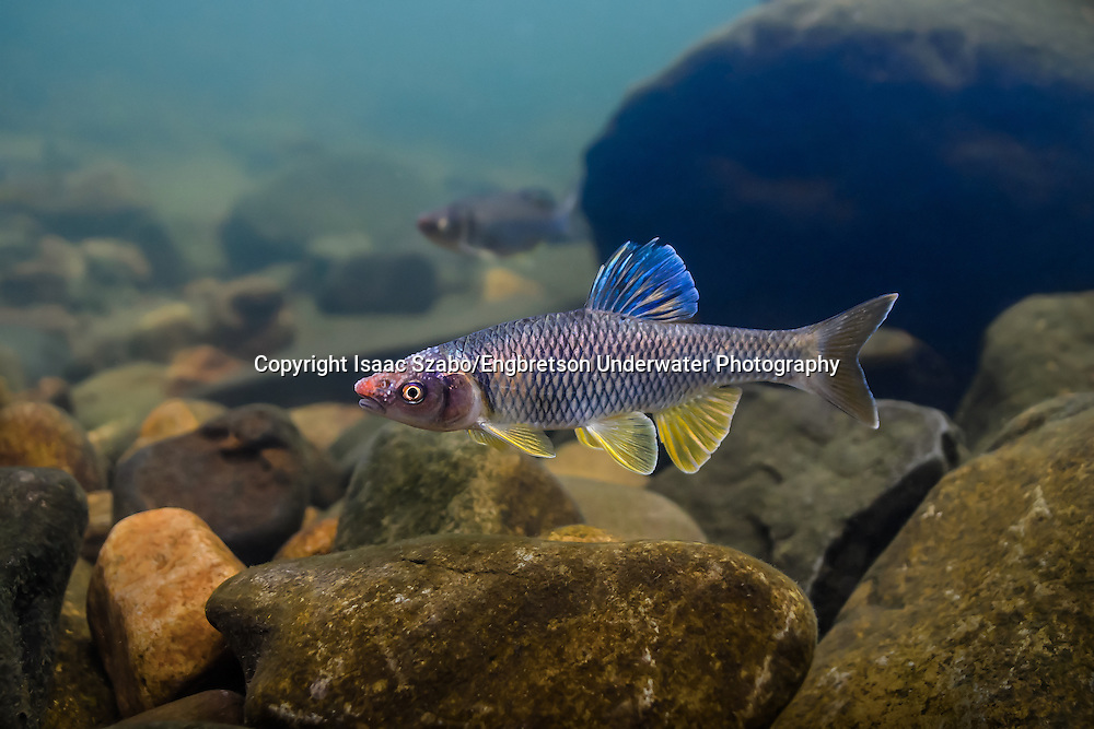 Steelcolor Shiner<br /> <br /> Isaac Szabo/Engbretson Underwater Photography