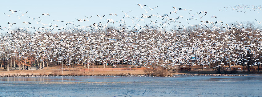 Middletown, New York - Snow geese gather on the frozen lake at Fancher-Davidge Park on Feb. 4, 2017.