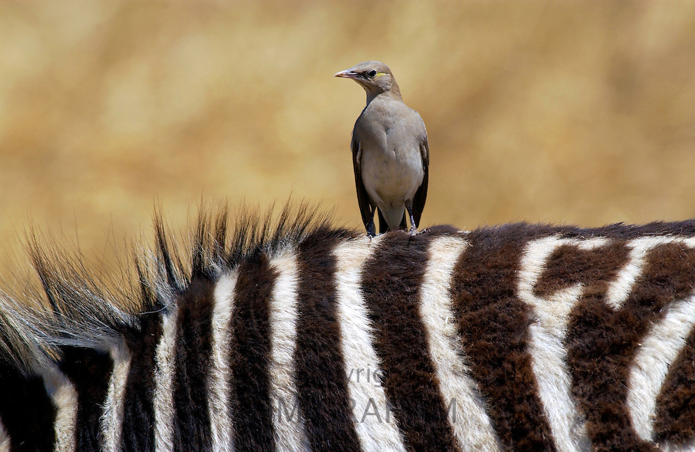 A bird resting on  the back of a Common Plains Zebra (Grant's), Ngorongoro Crater, Tanzania
