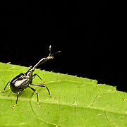 Attelabidae is a widespread family of weevils. They are among the primitive weevils, because of their straight antennae. Attelabidae are known commonly as the leaf-rolling weevils. Some members of this family, such these, have long necks and may be called giraffe weevils.