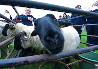 Teagasc's Science Week  saw secondary schools from County Galway attend Teagasc Athenry. Niall Flynn Colaiste Mhuire Ballygar with some of the sheep on display. Photo:Andrew Downes. Photo issued with compliments, no reproduction fee.. .