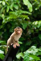 Juvenile Pig-tailed Macaque (Macaca nemestrina), Sabah, Malaysia..
