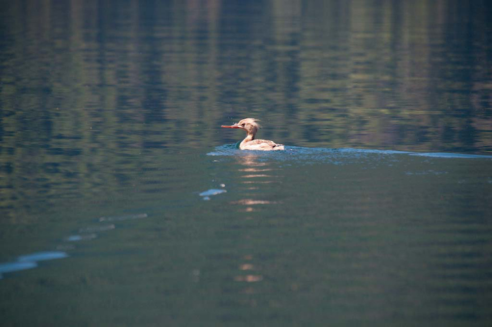 Duck, Ross Lake National Recreation Area, North Cascades National Park, Washington, US
