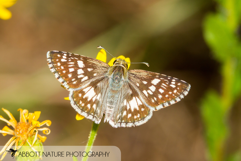 Common Checkered Skipper - Hodges#3966 (Pyrgus communis)<br /> United States: Alabama: Tuscaloosa Co.<br /> Tulip Tree Springs off Echola Rd.; Elrod<br /> 6-Oct-2017<br /> J.C. Abbott #2999
