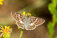 Common Checkered Skipper - Hodges#3966 (Pyrgus communis)<br /> United States: Alabama: Tuscaloosa Co.<br /> Tulip Tree Springs off Echola Rd.; Elrod<br /> 6-Oct-2017<br /> J.C. Abbott #2999