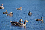 Greylag geese, Anser anser, and mallard duck on Tarn Hows lake in Lake District National Park, Cumbria, UK