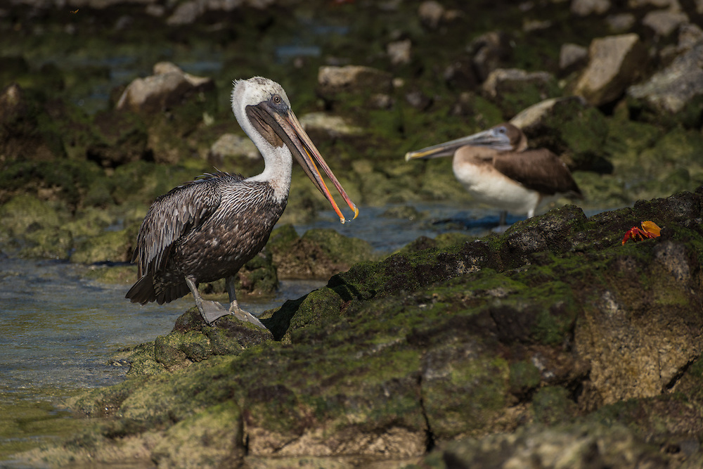 Two pelicans and a Sally Lightfoot crab, Santa Cruz, Galapagos, Ecuador.