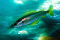 Coalfish or Saithe, Pollachius virens.Atlantic marine life, Saltstraumen, Bodö, Norway