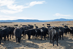 herd of cattle on a ranch in New Mexico