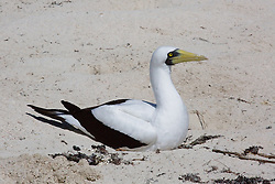A female Masked booby (Sula dactylatra) sits of a clutch of eggs in a shallow depression on the beach at Adele Island, a small island in the Indian Ocean off the Kimberley coast.  Adele Island is an important breeding island for Masked boobies.